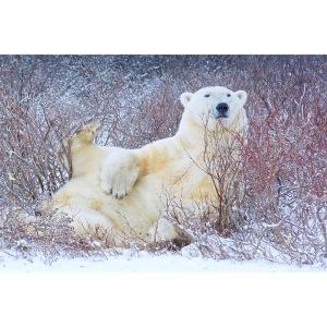 Polar Bear Wildlife Special LCSLB Thomas Makoben