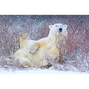 Polar Bear Wildlife Special LCSLB Thomas Makoben